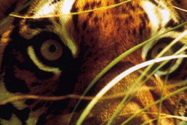 Maneaters - Λόγω της όλο και μεγαλύτερης παρέμβασης του ανθρώπου στην άγρια φύση, η επιθετικότητα των άγριων ζώων έχει αυξηθεί με αναρίθμητες επιθέσεις σε ανθρώπους
